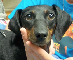 Lucy the Dachshund is Paralyzed