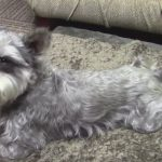 Miniature Schnauzer recovers from luxated patellas.